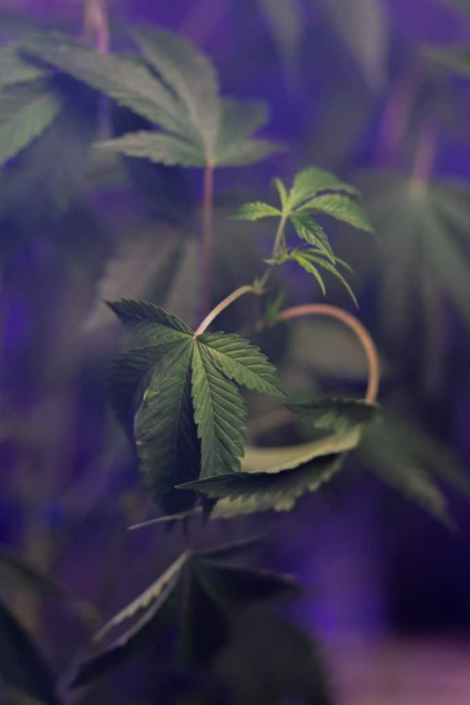 cañamo-planta